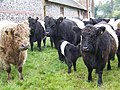 Belted Galloway Cattle, Bishopstone - geograph.org.uk - 967008.jpg