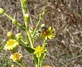 Bembix oculata. Nyssonidae - Flickr - gailhampshire.jpg
