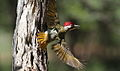 Bennett's Woodpecker, Campethera bennettii at Marakele National Park, Limpopo, South Africa ( male displaying) (15658343954).jpg