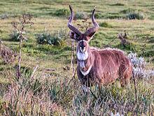 Mountain nyala videos photos and facts  Tragelaphus