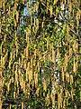 Betula procurva spring 01.JPG