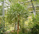 Cussonia paniculata