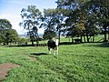 Bickerton Cow - geograph.org.uk - 380237.jpg