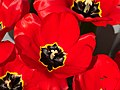 Big red tulips with small hoverfly 2.jpg