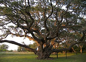 alt=Description de l'image Big tree.jpg.