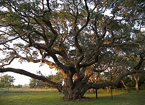 The Big Tree, Rockport - Goose Island Oak (the Big Tree) Rockport, Texas