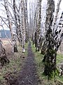 Birch above the bog - March 2013 - panoramio.jpg