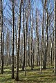 Birch forest Gullmarsskogen 6.jpg