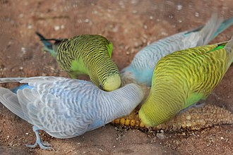 Budgerigar - Four domesticated budgerigars eating corn