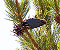 Bird eating Pine Kernels 2 (8045037100).jpg