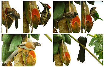 Birds came to feeding papaya fruit. (, , , , a...