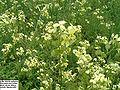 Biscutella auriculata.jpg