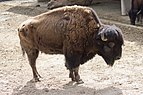 Bison bison - 01.jpg