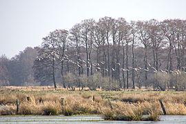 Blässgänse im Naturschutzgebiet Meerbruchwiesen am Steinhuder Meer IMG 1549.jpg