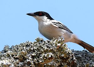 Black-backed Puffback (Dryoscopus cubla) male (30962823556).jpg