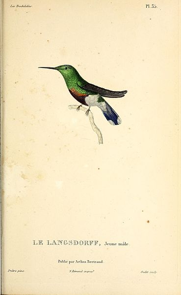 File:Black-bellied thorntail (Discosura langsdorffi) - BioDivLibrary.jpg