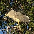 Black-crowned Night-Heron (8083869358).jpg