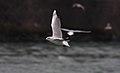 Black-headed Gull (Chroicocephalus ridibundus) (4153917183).jpg