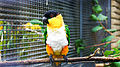 Black-headed parrot (Pionites melanocephalus) (5).jpg