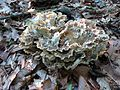 Black-staining Polypore - Flickr - treegrow.jpg