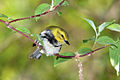 Black-throated-green-warbler-84.jpg