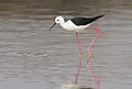 Black-winged Stilt, Common Stilt, or Pied Stilt, Himantopus himantopus at Borakalalo National Park, South Africa (9937771353).jpg