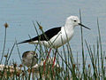 Black-winged Stilt RWD.jpg