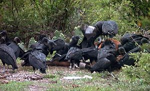 New World vulture - American black vultures on a horse carcass