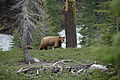 Black Bear and Cub- Ursus americanus (9403812356).jpg