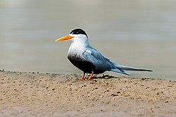 Black Bellied Tern (cropped).jpg