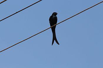 Black Drongo Dicrurus macrocercus on line, Goa.jpg