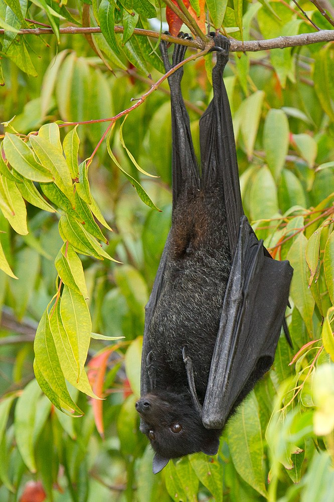 The average litter size of a Black flying fox is 1