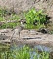 Black Lapwing (Vanellus armatus) chick (33427172182).jpg