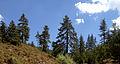 Black Pine - Karaçam - Pinus nigra 03.JPG