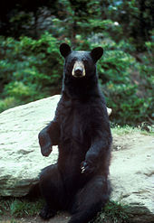 Bear standing on its hind legs
