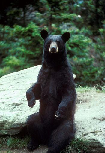 A black bear standing