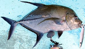 Central Region (Ghana) - Black jack fish (Caranx lugubris), from Cape Coast on the Peninsula Ashantiland.
