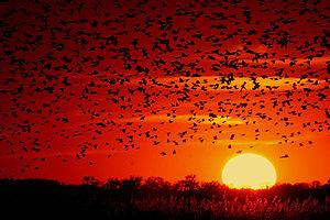 Quivira National Wildlife Refuge - Image: Blackbird sunset 03