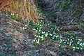 Bledule jarní v PR Králova zahrada 65.jpg