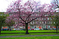 Bloesem Statensingel Rotterdam (4494735685).jpg