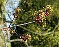 Blossom on tree branch at Magdalen Laver Essex England.jpg