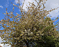 Blossoming tree on Downhall Road at Matching Green, Essex, England.jpg