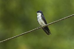 Blue-and-White Swallow - Brazil S4E0493 (16792211990).jpg