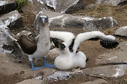 Blue-footed Booby (Sula nebouxii) adult and chick.jpg
