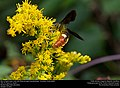 Blue-winged wasp (Scoliidae, Scolia dubia) (30901482052).jpg