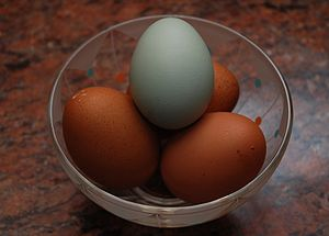 A blue egg laid by an Araucana hen, with brown...