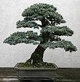Blue Atlas Cedar (Cedrus atlantica) (3506402396).jpg