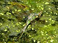 Blue Emperor laying Anax imperator (32732738191).jpg