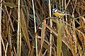Blue Tit - Lakenheath Fen (38515859131).jpg