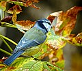 Blue tit (23314529050).jpg